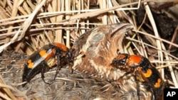 A pair of American burying beetles prepares to bury a bobwhite quail carcass.