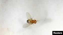FILE - A fruit fly is seen in a laboratory at the Bar-Ilan University, in Ramat Gan, Israel, May 1, 2018.