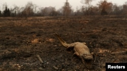A dead caiman is pictured in an area that was burnt in a fire in the Pantanal, the world's largest wetland, in Pocone, Mato Grosso state, Brazil, August 31, 2020. (REUTERS/Amanda Perobelli)