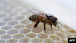 This undated handout picture released August 25, 2015 by Australia's national science agency the Commonwealth Scientific and Industrial Research Organisation (CSIRO) shows a micro-sensor glued onto the back of a honey bee to monitor its movements.