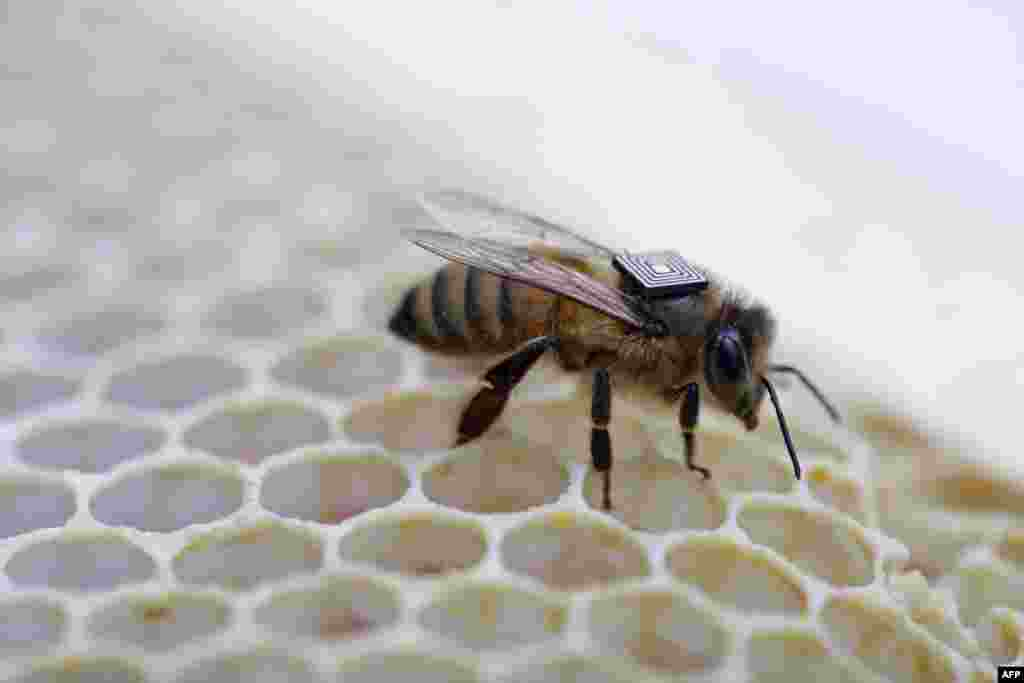 This picture, released by Australia's national science agency, shows a micro-sensor glued onto the back of a honey bee to understand the key reasons driving a worldwide population decline of bees.