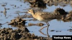 지난달 27일 한국 강릉에서 촬영된 쇠부리도요. 한반도에서 잘 관측되지 않는 희귀 철새다.