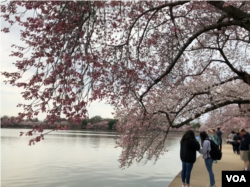 "People walk under ""peak bloom"" cherry blossoms at Washington's Tidal Basin."