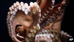 Seekor gurita Pasifik raksasa menempel di kaca akuarium di anjungan 'Cold Water Quest' Musium Akuarium Georgia, Atlanta (Foto: dok). The Washington Fish & Wildlife Commission melarang perburuan gurita raksasa Pasifik demi tujuan rekreasi di tujuh lokasi penyelaman paling terkenal di daerah Puget Sound, Umat (2/8).
