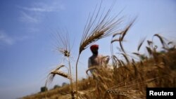 A farmer stands in his wheat field, which was damaged by unseasonal rains, at Vaidi village in the northern Indian state of Uttar Pradesh, March 25, 2015.