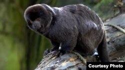 "Monyet kecil jenis ""Goeldi"" yang mempunyai ukuran (panjang) tubuh sekitar 20 cm. (Foto: Wikipedia)"