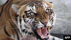 Loài hổ đang bị đe dọa bởi tình trạng săn bắt trộm cùng với môi trường sống bị thu hẹp