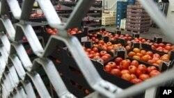 Cà chua sắp được phân phối cho nhà buôn lẻ