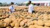 Jokowi: Porang Bisa Menjadi Makanan Pokok di Masa Depan