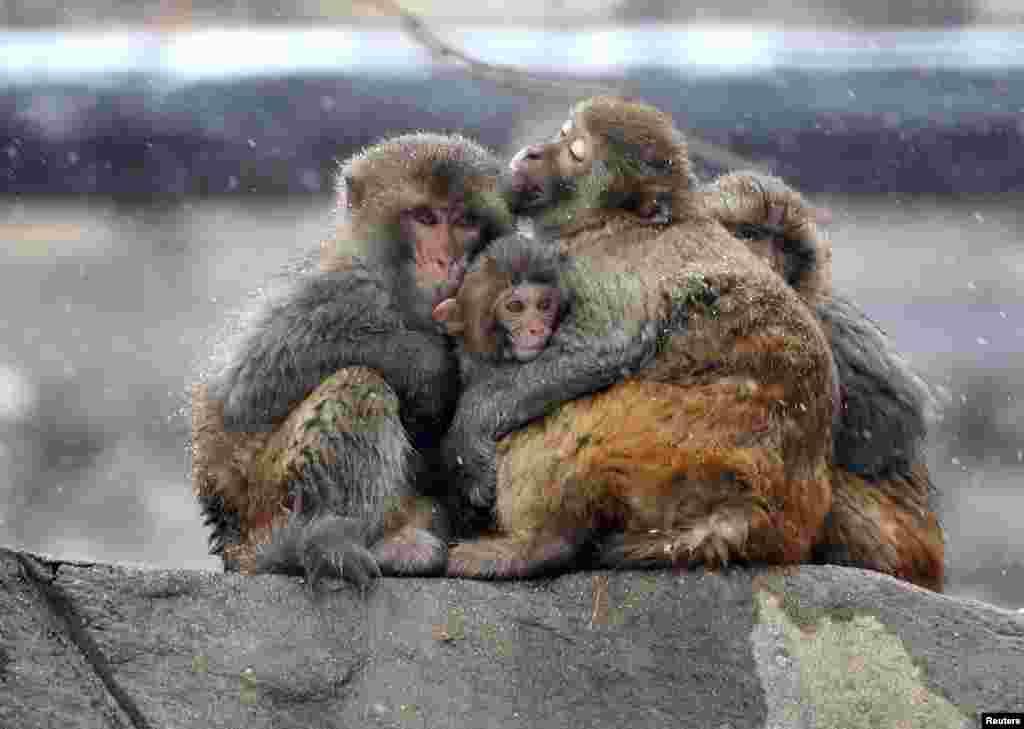 آغوش گرم خانواده میمون ها در هوای سرد و زیر بارش برف در چین