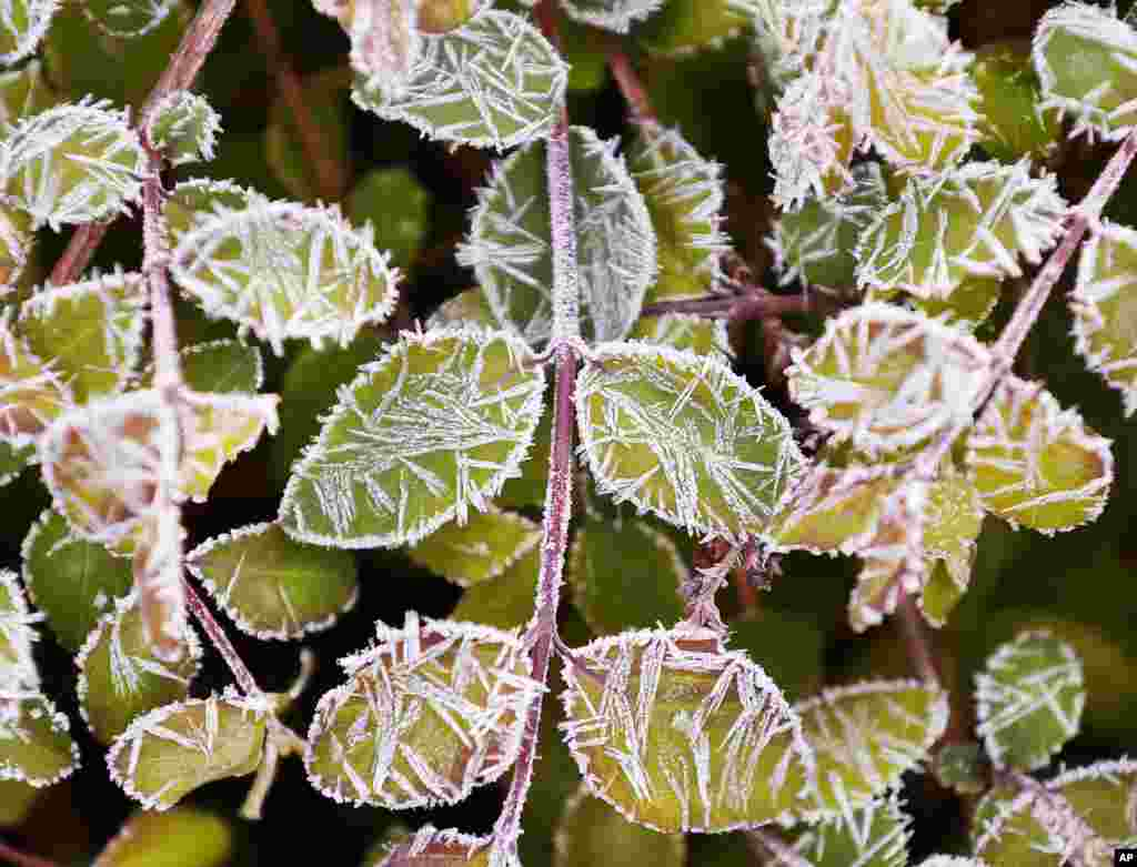 Small leaves of a bush are covered in frost after a cold night in Frankfurt, Germany.