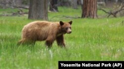 You can now keep track of the bears in Yosemite National Park.