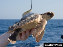 Loggerhead turtles were tagged and released from Florida's Atlantic coast, then followed for up to 220 days. (Jim Abernethy, NMFS)