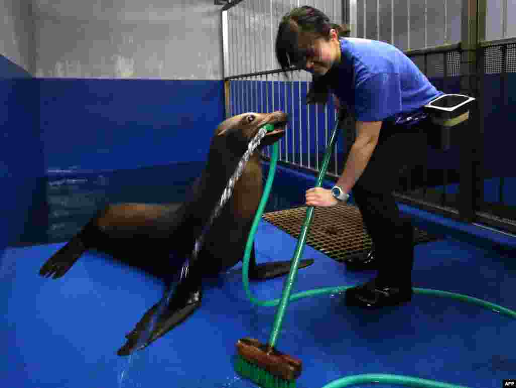 Female sea lion 'Sarasa' holds a hose with her mouse to help a trainer clean her room at the Shinagawa Aqua Stadium aquarium in Tokyo, Japan.