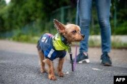 """Seekor Yorkshire Terrier betina berusia sembilan tahun menunggu untuk mengambil bagian dalam """"Patroli Wan-Wan"""" ke sebuah sekolah dasar di Tokyo, Jepang, 14 Juli 2021. (AFP)"""