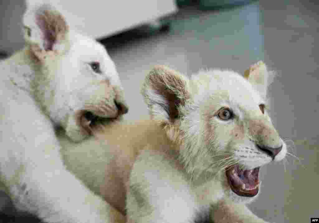 دو توله شیر سفید ۴ ماهه در یک باغ وحش در مکزیک