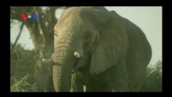 The War on Wildlife Trafficking (VOA On Assignment Oct. 18)