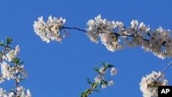 واشنگٹن میں پھول والوں کی سیر