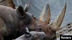 Cula badak dimanfaatkan untuk pengobatan di beberapa negara di Asia timur (foto: dok).
