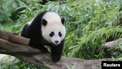 Bao Bao, a 44-pound female panda bear cub, is seen in the panda exhibit at the Smithsonian's National Zoo in Washington August 23, 2014. REUTERS/David Galen/Smithsonian's National Zoo/Handout
