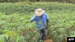 Ông Nelson Moreno, người trồng cà phê lâu năm vừa mới bắt đầu trồng sắn