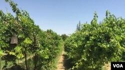 درخت های پیوند شده در هرات