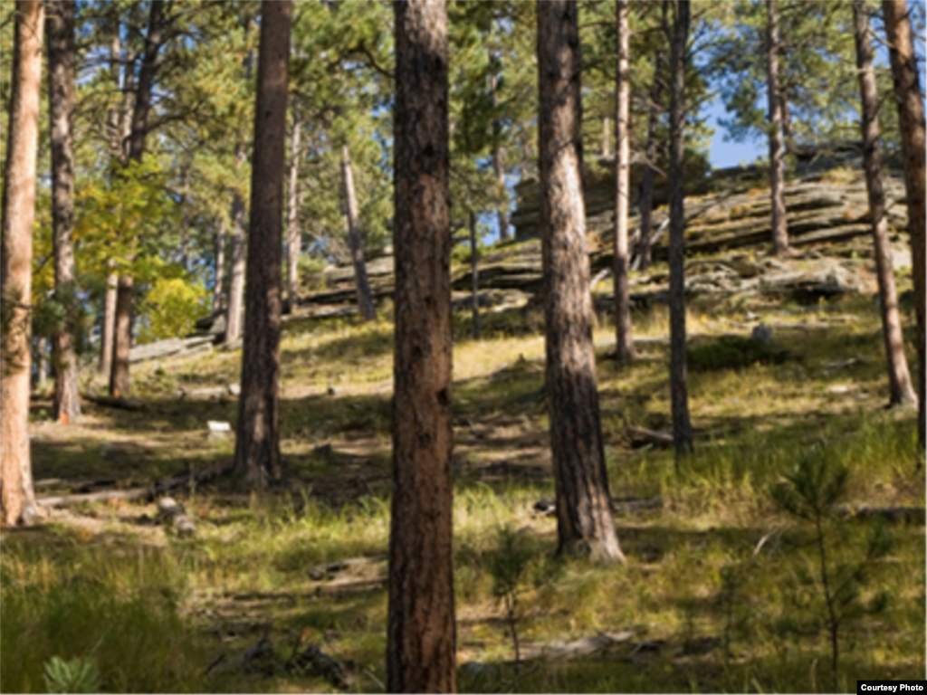 This ponderosa pine forest shows how fire has played its natural role. The trees are spaced widely enough to allow them to survive low-intensity fires and there is little lower vegetation. (National Interagency Fire Center)