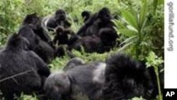 Gorillas on the Brink
