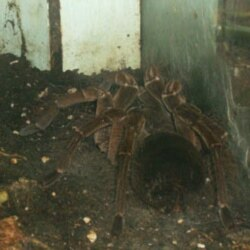 There are live specimens at the museum too, like this Goliath birdeater tarantula spider