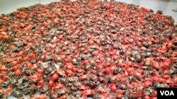 华盛顿史密森学会赫什霍恩博物馆艾未未艺术展作品之一:河蟹 (美国之音王南拍摄)
