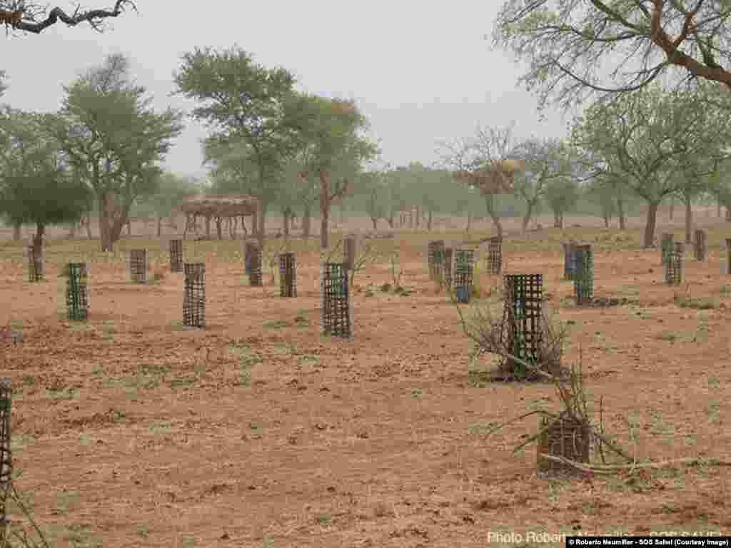 Protection des arbres plantés au Burkina Faso