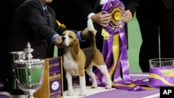 William Alexander poses with Miss P, a 15-inch beagle, after winning the best in show competition title at the Westminster Kennel Club dog show, Tuesday, Feb. 17, 2015.
