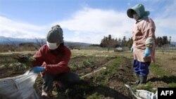 Nông dân Nhật thu hoạch cà rốt từ trang trại của mình để ăn vì lo sợ không có ai sẽ mua chúng do mức phóng xạ ở Fukushima, 24/3/2011