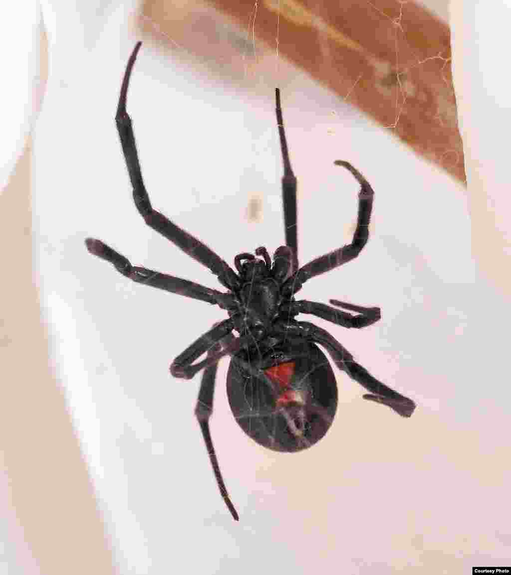 One of the few species harmful to people in North America, a black widow often features a red hourglass shape on its underside. (© AMNH\R. Mickens)