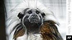 猴子也懂音乐