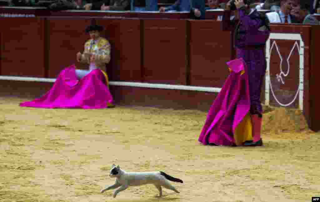 A cat is seen during a bullfight at the La Santamaria bullring in Bogota, Colombia, Jan. 28, 2018.
