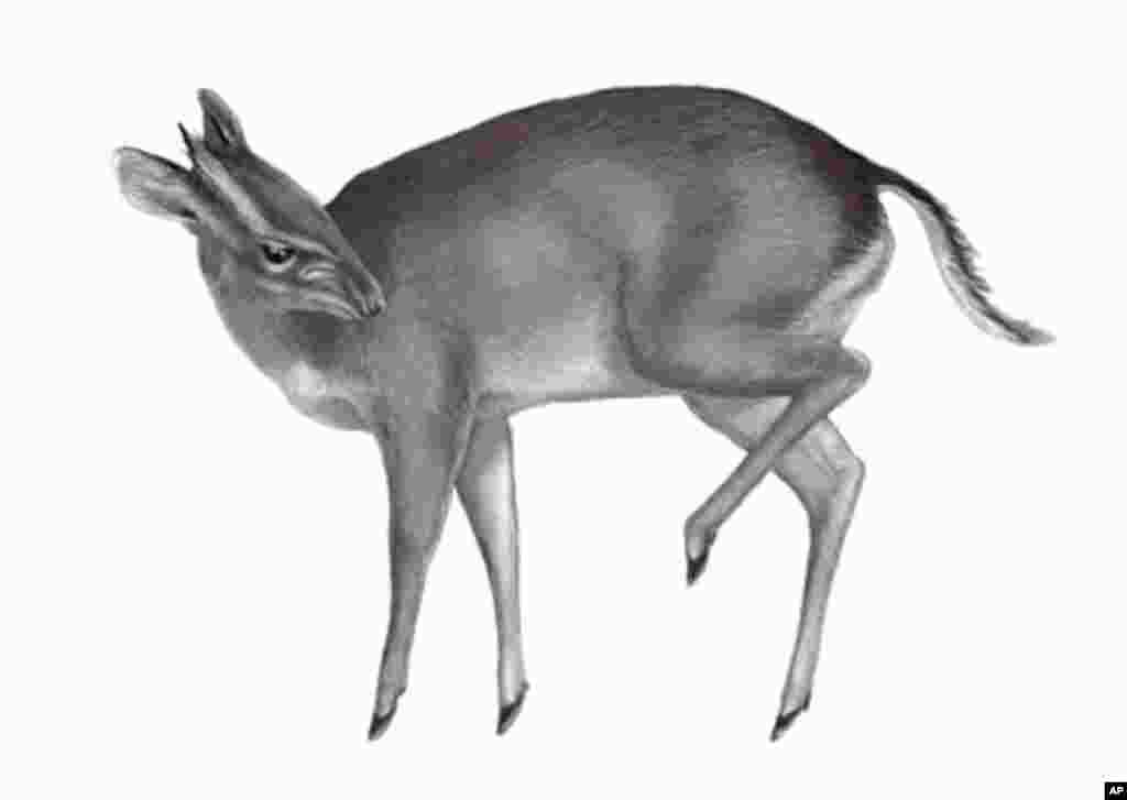 The largest new species on the list is an antelope that was first discovered being sold as bush meat in a West African market. (Drawing Yann LE BRIS)
