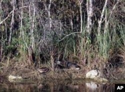 If you look carefully between the two white rocks, you'll spot a couple of sunning gators, waiting for their next splash - and meal.