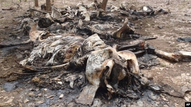 Carcasses of elephants slaughtered by poachers in Boubou Ndjida National Park, Cameroon, Feb. 16, 2012.