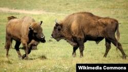Bison Eropa, berbeda dengan bison Amerika (foto: dok).