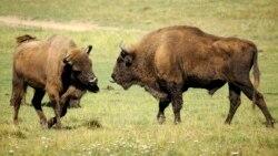 Bizonlar Amerika milliy sutemizuvchi hayvoni