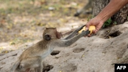 A macaque monkey reaches for a mango offered by a man by the side of the road in Hua Hin, Thailand, as low tourist numbers due to the ongoing COVID-19 situation have resulted in a decrease in the number of people feeding them.