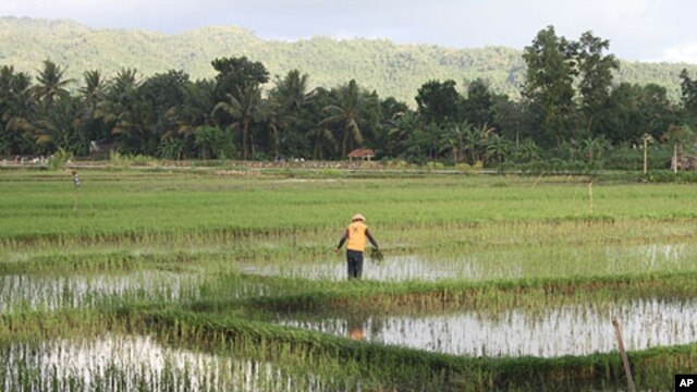 A farmer works in a rice field near the center of Pacitan, Indonesia