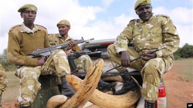 "Petugas keamanan perlindungan satwa liar Kenya menjaga gading gajah di Taman Nasional Nairobi (Foto: dok). Polisi, bea-cukai, dan dinas kehutanan dari Asia, Afrika, dan Amerika Serikat telah mengumumkan diakhirinya operasi ""Cobra"" yang dinilai berhasil dalam upaya menegakkan hukum internasional terkait sindikat kejahatan satwa liar yang terorganisir, Senin (18/2)."