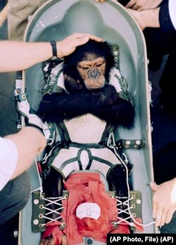 FILE-- Chimp Research. In this Jan. 31, 1961 file photo, Ham, a chimpanzee launched into outer space, is comforted by a man on the rescue ship after the splashdown in the Atlantic Ocean.