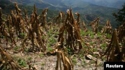 FILE - A view of corn crop, ruined by drought, in Baja Verapaz, Guatemala.