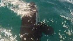 Diver Rescues Killer Whale