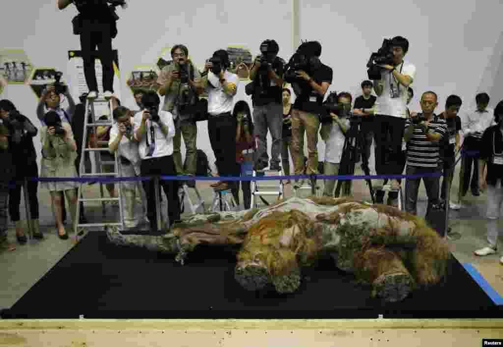 Giới truyền thông quay phim xác của con voi Mammoth Wooly 39.000 năm tuổi, tìm thấy tại vùng Siberia băng giá ở Nga, được đưa tới phòng trưng bày ở Yokohama, phía nam Tokyo, Nhật Bản.