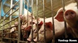 울산에 폭염경보가 내려진 8일 울주군 두서면 돼지 농가에서 대형 선풍기가 열기를 식히고 있다.