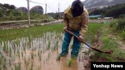 메마른 땅을 적시는 단비가 내린 26일 강원 춘천시 동면에서 한 농민이 논두렁을 정비하고 있다.